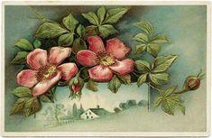 Wild Rose Printable Birthday Postcard ~ Free Vintage Image (wording removed)