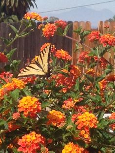 Our butterfly bushes are also hard at work bringing in the worker bees (and butterflies) to do their part.