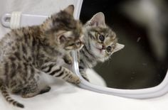 """A six-week-old, eight-ounce male """"black-footed cat"""" kitten is the first one born at Brookfield Zoo. The smallest feline in Africa, the cat is the result of a North American breeding program to sustain this threatened species. A black-footed cat grows to about half the size of a domestic tabby."""