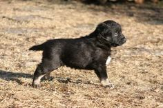 Lapponian Herder dog photo | Lapponian Herder puppy photo and wallpaper. Beautiful Lapponian Herder ...