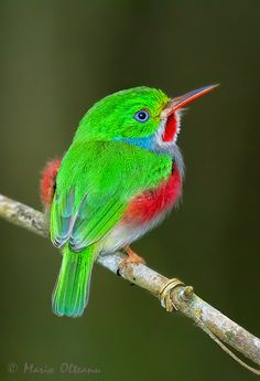 Cuban Tody by Mario Olteanu Pretty Birds, Beautiful Birds, Bird Gif, Wild Birds, Central America, Cuban, Mario, Tweet Tweet, Creatures