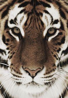 Big cat. Gorgeous face