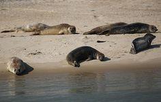 Seehunde auf der Sandbank vor Terschelling Polar Bear, Animals, Templates, Animales, Animaux, Animal, Animais