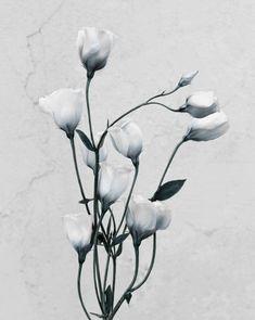 Vee Speers, Eustoma Grandiflorum, from series Botanica, 2016.