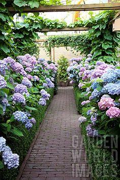 Walkway Through Beautiful Hydrangeas Amazing Gardens, Beautiful Gardens, Beautiful Flowers, Love Garden, Dream Garden, Back Gardens, Outdoor Gardens, Garden Paths, Garden Landscaping