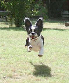Bostillon   Boston Terrier / Papillon Hybrid Dogs