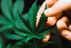 With the legalization of cannabis being the hot topic right now, one discussion needed is proper training of cannabis in the workplace. Our new Cannabis in the Workplace training course is now available. Cannabis, Marijuana Plants, Medical Marijuana, Lds Church, Training Courses, Stress And Anxiety, Utah, Benefit, How To Find Out