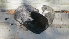 """redditaww: """" These cats were cuddling in the shape of a heart """""""