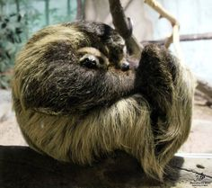Linne's Two-Toed Sloths from Minnesota Zoo