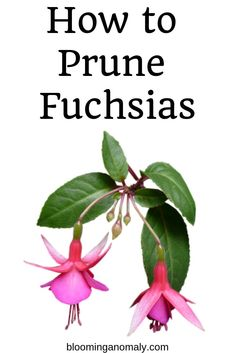 Do you want to enjoy your fuchsia plant for a long time? Learn how to prune fuch… – Modern Design - Modern Hanging Flowers, Hanging Plants, Hanging Baskets, Container Gardening, Gardening Tips, Flower Gardening, Urban Gardening, Gardening Services, Gardening Gloves