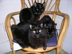 gats negres