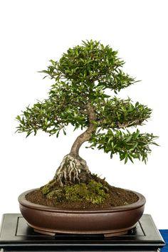 Rhododendron indicum bonsai tree