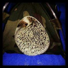 16 Ways Hedgehogs Put Cats To Shame