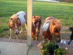 My mini horses