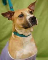 Rose is an adoptable Boxer Dog in Toledo, OH. All Planned Pethood dogs and puppies are altered (spayed/neutered) and fully vetted prior to adoption.