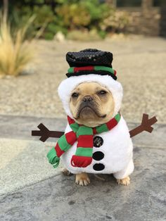 Alfie the French Bulldog in a Snowman Costume for Christmas ☃️❤️ #Buldog