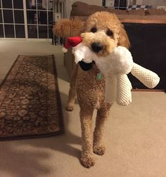 On the first night of Chanukah my mom gave to me.. A sheep with a Santa Claus hat! #goldendoodle #goldendoodles #doodle #doodles #doodlesofinstagram #doodlesofinsta #goldendoodlesofinstagram #puppylove #puppy #puppiesofinstagram #dailydoodle #dogsofinstagram #dailyfluff #weeklyfluff #doodlelove #dailydoseofcute #aplacetolovedogs #yourdogstoday #fluffypack #golden #poodle #dogstagram #dailybark #dailypuppy #dog #goldendoodlecentral #lacyandpaws by franklin.doodle