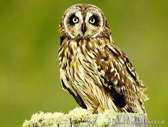 """Saw THREE of these amazing diurnal owls on our volcano tour with Hawaii Forest and Trail. Known as the """"Pueo"""" - isn't that a great name?"""