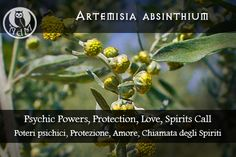 Magical Uses of Artemisia Absinthium: Psychic Powers, Protection, Love, Spirits Call \\ Usi Magici dellìArtemisia Absenthium: Poteri Psichici, Protezione, Amore, Chiamata degli Spiriti \\ L'antro della magia http://antrodellamagia.forumfree.it/?t=56760138