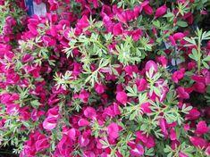 Brem Cytisus praecox 'Boskoop Ruby' - Kwekersvergelijk Shrubs, Garden, Flowers, Plants, Succulents, Garten, Lawn And Garden, Shrub, Gardens