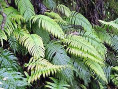 Blechnum novae-zelandiae is an endemic fern of New Zealand. It belongs to the family of hard ferns, the second largest of New Zealand's fern families. It is a common fern found throughout New Zeala… Turn Light, Australian Garden, Forest Garden, Tropical Garden, Shade Garden, Fertility, Ferns, Bright Pink, Pink Color