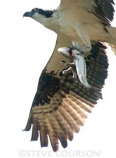 osprey with fish, via Flickr.