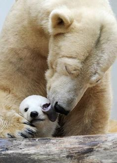 Baby polar bear and mom