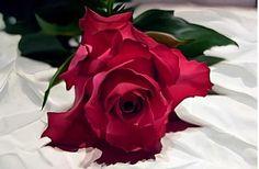 Beautiful Red Rose...