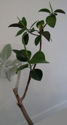 Great tips on ficus care.