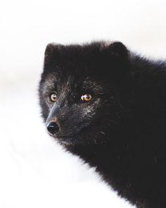 Hello Mr Lazy eye Fox. #iceland