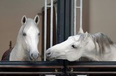 Thanks to the Stallions good nature and temperament, they can live close together