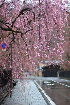 weeping cherry (by konatu411)