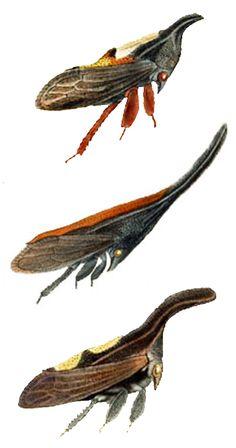 Enchenopa quadricolor; Enchenopa gladius; Enchophyllum binotata;