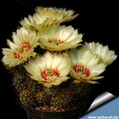 A wonderful cactus flower; Echinocereus papillosus var - angusticeps hardy todo 5F