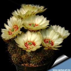 A wonderful cactus flower; Echinocereus papillosus var - angusticeps hardy to 5F