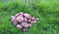 Grow your best potato crop yet with these planting tips guaranteed to yield successful results.
