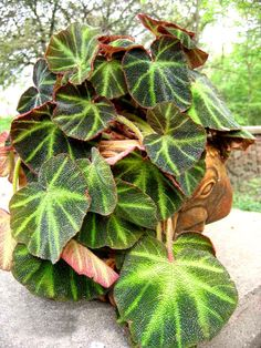 BEGONIA_REX  http://www.himachalflowers.com/photo_galerry.html#ORNAMENTAL