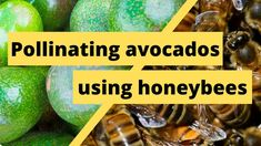 Welcome to Agriculture Academy, where we show you how to start a profitable business in Agriculture. Pollinating avocados using Honeybees has the potential t. Horticulture, Avocado, Training, Flowers, Lawyer, Garden Planning, Work Outs, Excercise, Onderwijs
