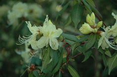 Rhododendron lutescens 'Bagshot Sands'