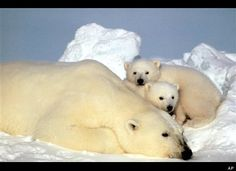 Polar Bears  -  A sow polar bear rests with her cubs on the pack ice in the Beaufort Sea in Alaska. In 2008, the U.S. government described polar bears as threatened under the Endangered Species Act. Due to dangerous declines in ice habit, polar bears are at risk of becoming endangered
