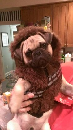 brutusandfriends:  My Halloween costume has been acquired…Mom wanted me to go as Chewy.. .