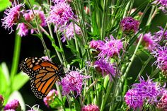 This capture was taken during last summers visit to the Botanical Gardens in Green Bay Wisconsin. Here is a Monarch Butterfly that has landed on some purple lavender flowers.
