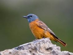 cape thrush - Google Search Garden Birds, New Hobbies, South Africa, Westerns, Cape, Google Search, Animals, Mantle, Cabo