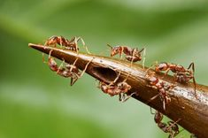 Trees Trap Ants Into Sweet Servitude A sip of nectar enslaves ants to the trees they guard. An enzyme in the nectar of acacia trees makes ants chemically dependent on their sugar.