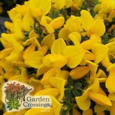 """Sister Golden Hair™ Cytisus scoparius 'SMNCSG. F' -Common Name: """"Scotch Broom. Color: Deep Yellow Ht:12-18""""xW:12-18"""" Hardiness Zone: (5)6-8. A powerful spring bloomer, large, golden yellow blooms cover Sister Golden Hair™ head to toe. Standing 12-18"""" tall, mounding habit weeps over. Great in containers, landscape borders. in full sun, this Scotch Broom grows well in dry sandy soil. Hardy in zones 6-8, Deer resistant. Blooms on old growth so we recommend trimming after flowering."""