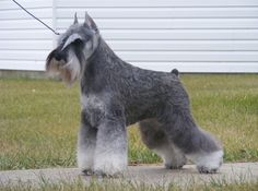 Clipping a Standard Schnauzer - Yahoo Image Search Results