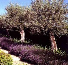 Ideas for Olive Tree Garden Olive trees and lavender - Olea-europaea lavender
