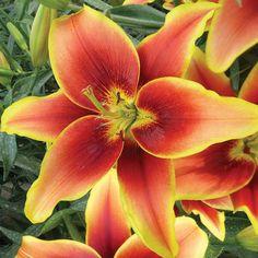 Magic Star Double Oriental Bi Colored Lily 5 Bulbs 18//20 cm
