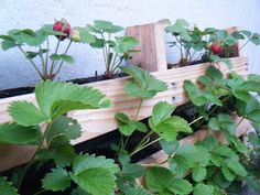 Strawberries in a Pallet.  Very Cool!