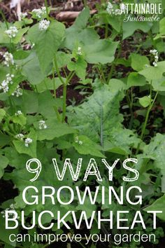 Growing buckwheat: It's surprisingly good at creating lots of unexpected benefits in a vegetable garden. PLUS, it's super easy to grow.